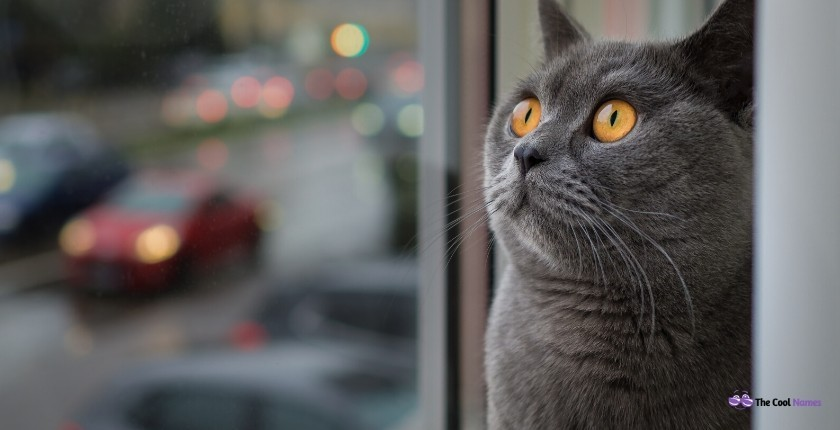 Male Gray Cat Names