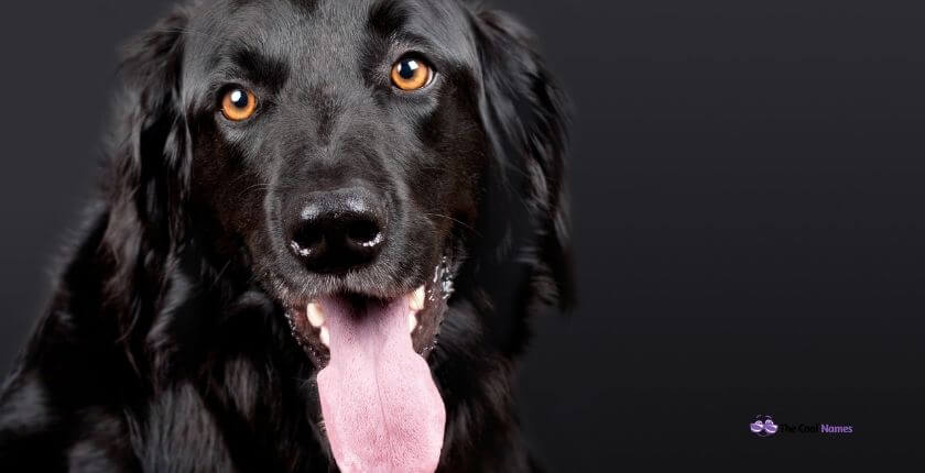 Dark Colour Dogs